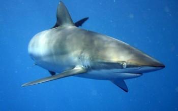 Seidenhai